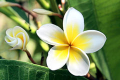 Flower Plumeria Royalty Free Stock Photography