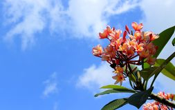 Pink plumeria flowers in sky background. royalty free stock image