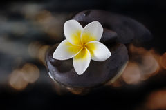 Flower plumeria or frangipani on pebble and water in gold bokeh Royalty Free Stock Image