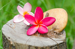 Flower plumeria or frangipani with stone on tree stump. Concept of spa royalty free stock photography