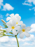 Flower Plumeria isolated on the sky background. Royalty Free Stock Photos