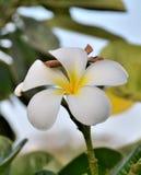 Flower Plumeria rubra Stock Image