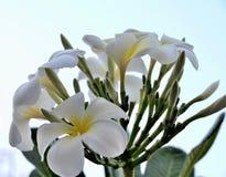 Flower Plumeria rubra Stock Photography