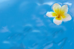 Flower of plumeria in water Royalty Free Stock Photo