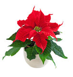 Flower poinsettia. Red christmas flower poinsettia isolated on white stock image