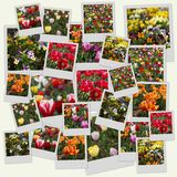 Flower polaroids. Polaroid-like collage of colorful flowers (tulips, roses, viola Stock Images