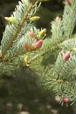 Young buds and young cones grow out of a twig of coniferous tree. royalty free stock images