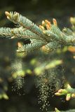 Young buds and young cones grow out of a twig of coniferous tree. stock image