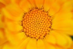 Flower Pollen Macro Stock Image