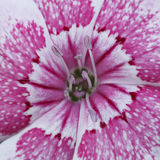 Flower and pollen for pattern Stock Image