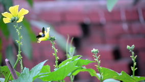 Flower Pollens by Honey Bee stock video