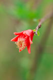 Flower of pomegranate fruit royalty free stock photography