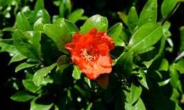 Flower of Pomegranate and green leaves Stock Photos