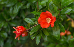 The flower of the Pomegranate Stock Photo