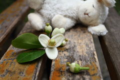 Flower of pomelo  with a sleeping toy rabbit on the wooden chair. A toy rabbit slept on the wooden chair with flower of pomelo Royalty Free Stock Images