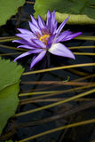 Flower in pond Stock Photos