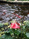 Flower in a pond. Pond water flower nature leaves Royalty Free Stock Photos