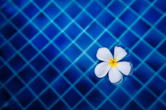 Flower. In the pool Thailand royalty free stock photo