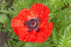Flower of poppy Royalty Free Stock Photography
