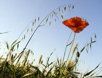 Flower of a poppy. On a background of the sky Stock Image