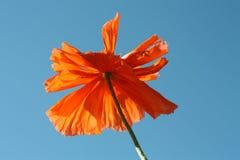 Flower of poppy against  sky. Stock Photos