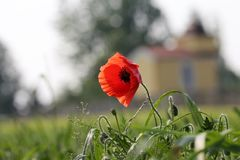 Flower, Poppy, Flowering Plant, Wildflower stock image