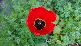 Flower, Poppy, Flowering Plant, Wildflower stock photo