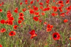 Flower poppy. Poppy flowers in a green field Royalty Free Stock Image