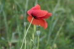 Flower poppy on green background   stock photo