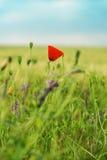 Flower of poppy on green field Stock Images