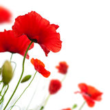 flower, Poppy isolated on white background Stock Images
