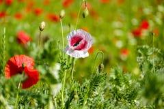 Flower, Poppy, Meadow, Field Stock Photo