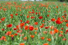 Flower poppy nature meadow Stock Images