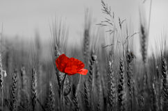 Flower. A poppy red detail on a wheal field royalty free stock images
