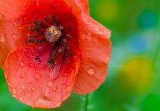 Flower of poppy Stock Photos