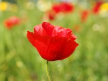 Flower, Poppy, Wildflower, Coquelicot Royalty Free Stock Photo