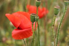 Flower, Poppy, Wildflower, Poppy Family Stock Photo