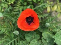 Flower, Poppy, Wildflower, Poppy Family royalty free stock photography
