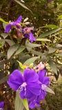 Flower2 porpora Immagini Stock Libere da Diritti