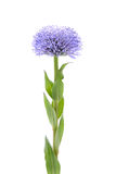 Flower portrait. Elegant blue flower on white background Royalty Free Stock Image