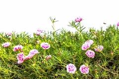 Flower Portulaca oleracea. Stock Image