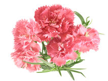 Flower posy of carnations Stock Photos