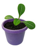 Flower pot. Green sprout in the violet flower pot Stock Image