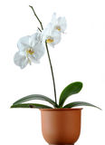 Flower pot. Orchig in pot Stock Images
