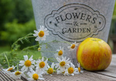 Flower-pot, Apple And Chamomile Flowers, Still-life Stock Photo