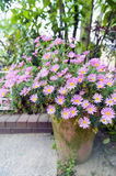 Flower pot of Aster cordifolius - pink flowers during blossom season in botanic garden.  Royalty Free Stock Photo