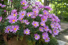 Flower pot of Aster cordifolius - pink flowers during blossom season in botanic garden.  Stock Photos