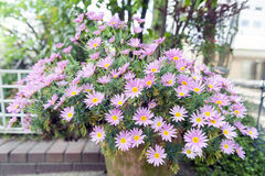 Flower pot of Aster cordifolius - pink flowers during blossom season in botanic garden.  royalty free stock photos