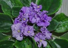 Flower pot of blossoming purple African violets .Saintpaulia stock image
