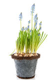 Flower pot Blue grape Hyacinths Royalty Free Stock Image